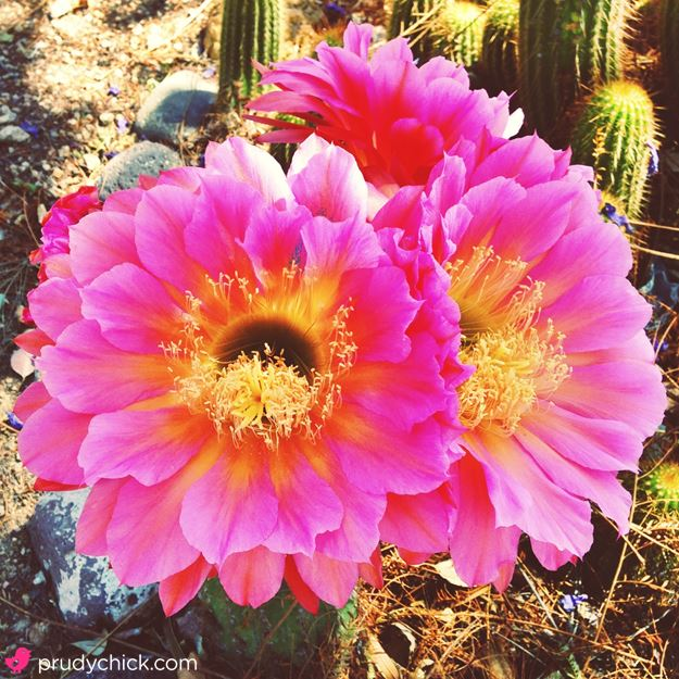 cactus flowers - pink